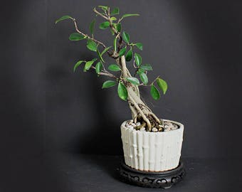 "Ficus Vietnamese bonsai tree ""Fall'17 Ficus Collection"" from LiveBonsaiTree"