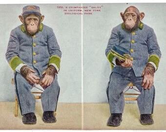 chimpanzee Baldy New York Zoological Park 1906 unused postcard