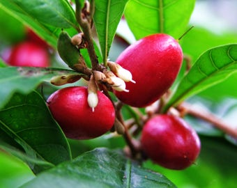 RARE Miracle fruit seeds, Miracle berry, Synsepalum dulcificum, Organic, Flavor Tripping, A Tiny fruit that tricks the tongue, 5-20 Seeds