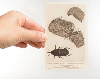Weevil print postcard, vintage insect postcards, beetle, entomology postcards