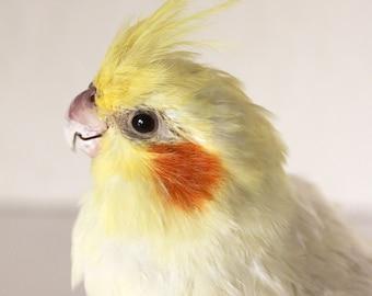 Taxidermy Bird Real Cute Cockatiel