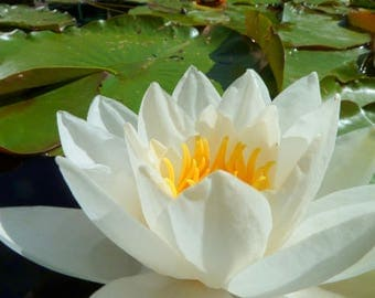Water Lily (Nymphaeaceae), Nature Photography