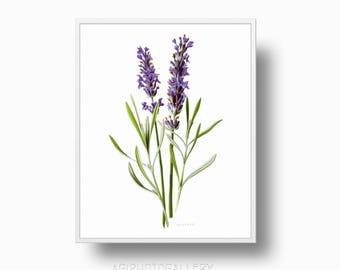 Lavender print, Lavender illustration, botanical wall art, kitchen wall art print, botanical print, Lavender vintage botanical poster
