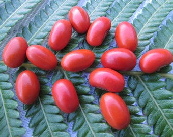 Genuine Small Red Hawaiian Wiliwili Seeds