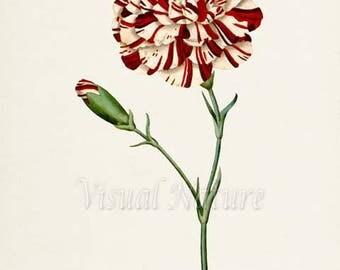 Carnation Flower Art Print, Botanical Art Print, Flower Wall Art, Flower Print, Floral Print, red, white