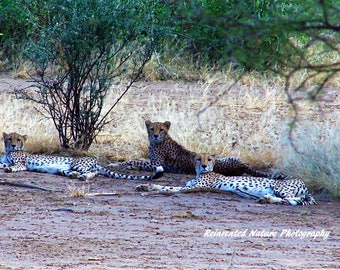 Reclining Cheetahs Photo - Animal Photo - 8 x 10 Matted Original Photography