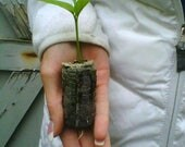 TreesAgain Kaffir Lime Tree - Citrus hystrix - starter plug