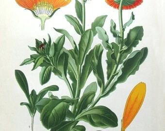 Calendula seeds to ship