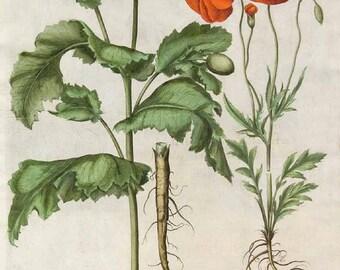 Poppy seeds to ship