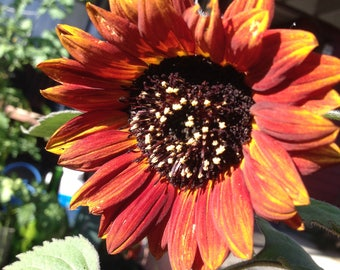 Summer Seed Project:  Red Sunflower Seeds   30 count