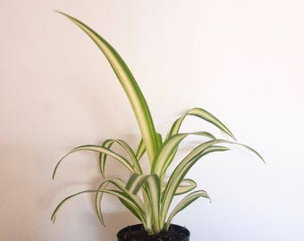 Baby Spider Air Purifying Plant, Safe for Pets, EasyCare Houseplant, Self-care Gift, Housewarming, Birthday Present, Gift for Her, Gardening