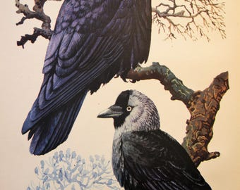 Corvids, Original Vintage Bookplate from 1947