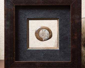 Ammonite fossil 5 x 4 cm