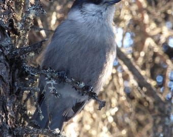 glorious gray jay - digital photography download - instant download, alaska, gray jay, birb