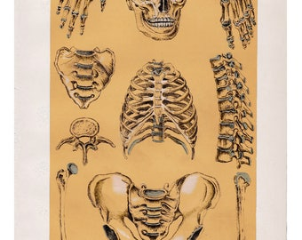 vintage anatomy print - 1920s colour lithograph of the human skeleton in parts - antique book plate illustration - gothic macabre gift idea