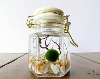 White and Gold Closed Marimo Terrarium, Small Glass Hexagon Jar, Customizable