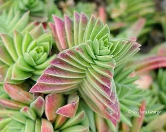 Succulents Photography, Still Life, Garden Photo