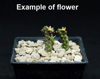 Echidnopsis cereiformis,Apocynaceae,Asclepiadaceae,Piaranthus fascicularis