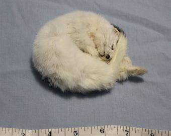 Taxidermied Sleeping Weasel Mount!