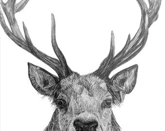 Stag, Giclee print of pencil drawing.