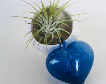 Air Plant in white ceramic pot/vessel/planter