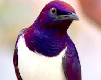 Exotic Bird: Violet-backed Starling Download File