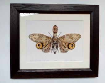 Framed limited edition art print - Fulgora lampetis