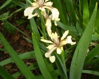 2 Organic Norfolk Native Iris Foetidissima,British Dry shade Plant,Red Berries in Winter