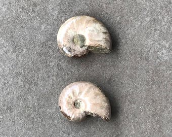 Two Pieces of Fossilized Ammonite