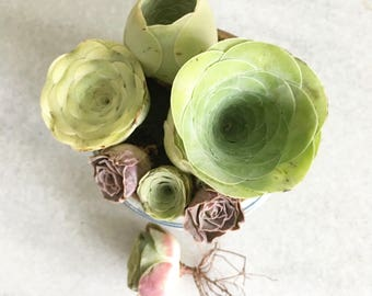Succulents-Greenovia Family Combo Pack of 7 Lovely Greenovia Mountain Roses