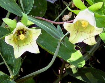 Bonnet Bellflower AKA Poor Man's Ginseng Seeds/ Codonopsis pilosula / Flowering Vine and Medicinal Plant