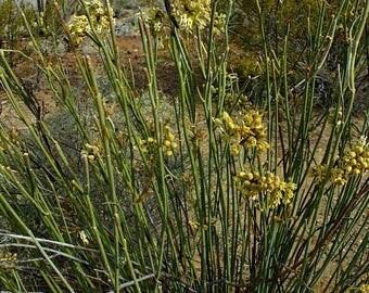 Long Stem AKA Rush Milkweed Seeds/Asclepias subulata / Butterfly Host Plant