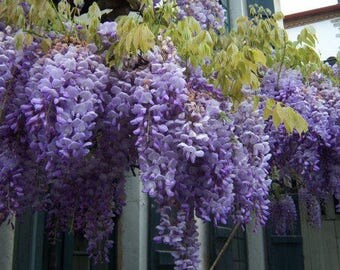 Wisteria frutescens 'Amethyst Falls', well rooted 12-16 inches plant