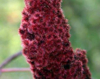 Staghorn Sumac (Rhus typhina) fresh 300 seeds bulk