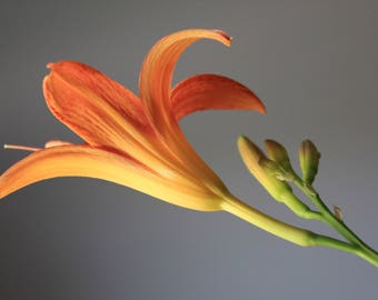 Day Lily Photograph