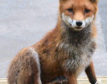 Welsh Urban Fox Coloured Photography Print - unframed