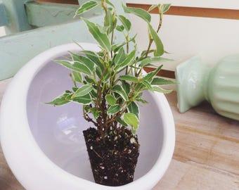 Beautiful! Ficus Nina Plug (1)