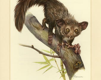 Vintage lithograph of the aye-aye from 1956