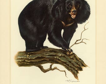 Vintage lithograph of the Asian black bear from 1956