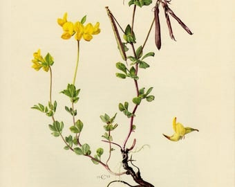 Vintage lithograph of the common bird's-foot trefoil, bird's-foot deervetch from 1953