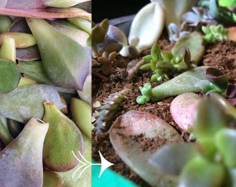 50 Succulent Leaf Cuttings for Propagation