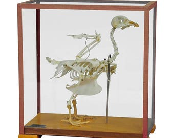vintage pigeon skeleton model for class circa 1950