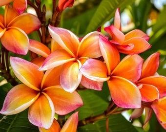 Plumeria - 5 seeds (frangipani) - Pagoda tree - West Indian jasmine