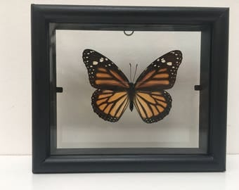 African Monarch Danaus Plexippus Butterfly/Insect/Taxidermy