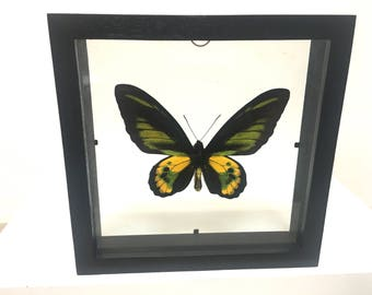 Beautiful Ornithoptera Rothschildi Birdwing Butterfly/Insect/Taxidermy/Lepidoptera.
