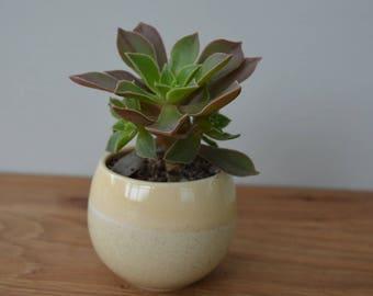 Mini succulent plant - Glazed planter- Ceramic planter - Succulent plants - Mini succulents - Fairy garden - Indoor plants - Succulents UK