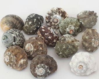 A7 - set of 13 shells approx 17 mm UN-drilled - ideal for any creation