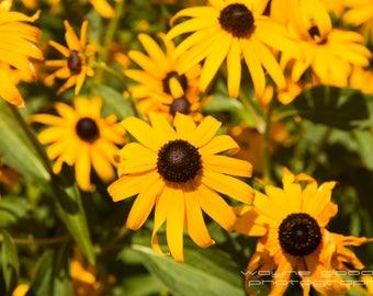 Texas Black Eyed Susans, Nature Photography, Home Decor, Wall Art, Good Texas Living