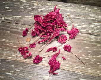 25 Dried Plume Celosia, Dried Flowers, Small Dried Flowers,