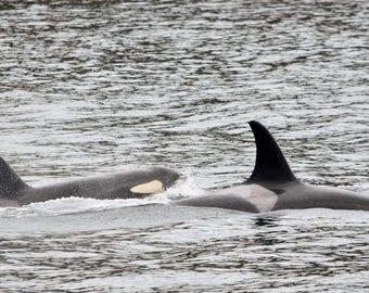 Orcas - San Juan Island, Washington